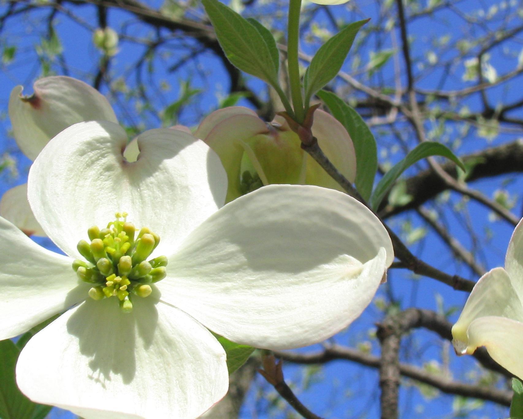 Dogwood native plant